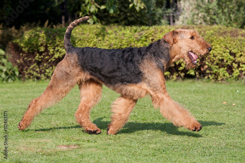 Running nice airedale terrier Wallpaper Mural