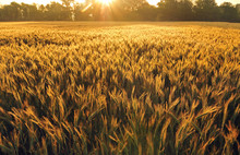 Field Of Barley In Early Morning