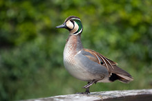 Baikal Teal (Anas Formosa) Standing On One Foot.