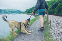 Naughty Dog Pulling On His Leash