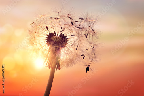 Poster Pissenlit Dandelion silhouette against sunset