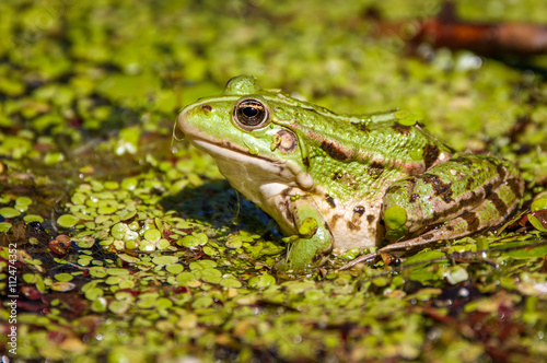 obraz dibond Common swamp frog