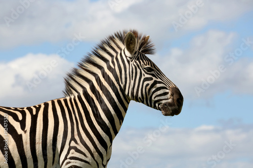 Montage in der Fensternische Zebra Wild Zebra and Cloudy Skies
