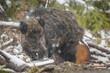 Wild boar in snow shower