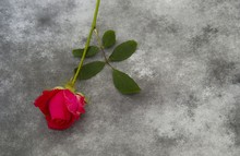 Condolence Card - Red Rose