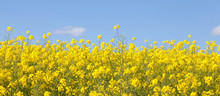 Panoramic Banner Of Bright Yellow Rapeseed  Flowers, Rape, Colza, Rapaseed, Oilseed, Canola,  Closeup Against S Sunny Blue Sky