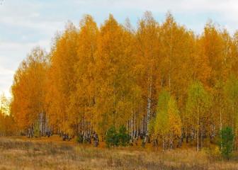 FototapetaBirch grove in autumn. Russia. Nizhny Novgorod Region