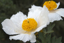 Matilija Poppies Close Up Large White Flowers With Intense Yellow Centers. Background Blurred