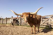 Longhorn Steer In Texas
