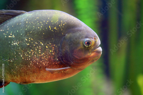 Valokuvatapetti Closeup of a piranha