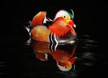 Mandarin Duck Swimming At Night