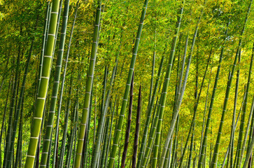 Panel Szklany Bambus Bamboo grove at Japanese garden, Kyoto Japan.
