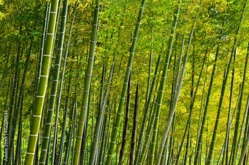 Bamboo grove at Japanese garden, Kyoto Japan. - 112506536