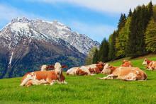 Herd Of Cows Graze In A Pasture In The Alps.
