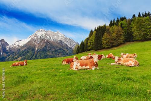 Stampa su Tela Herd of cows graze in a pasture in the Alps.