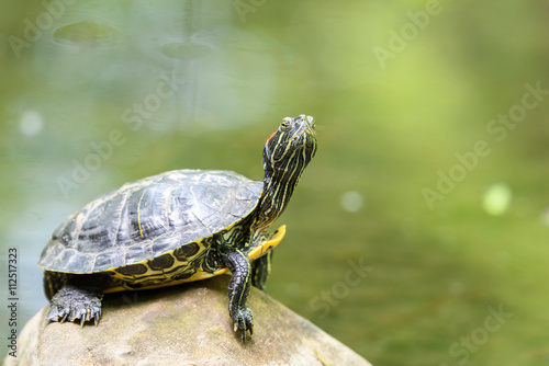Poster Tortue Pond Turtle Heating In The Sun On Rock In Lake Water