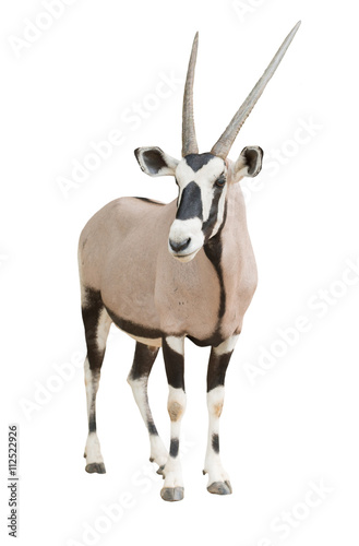 Poster Antilope gemsbok or oryx