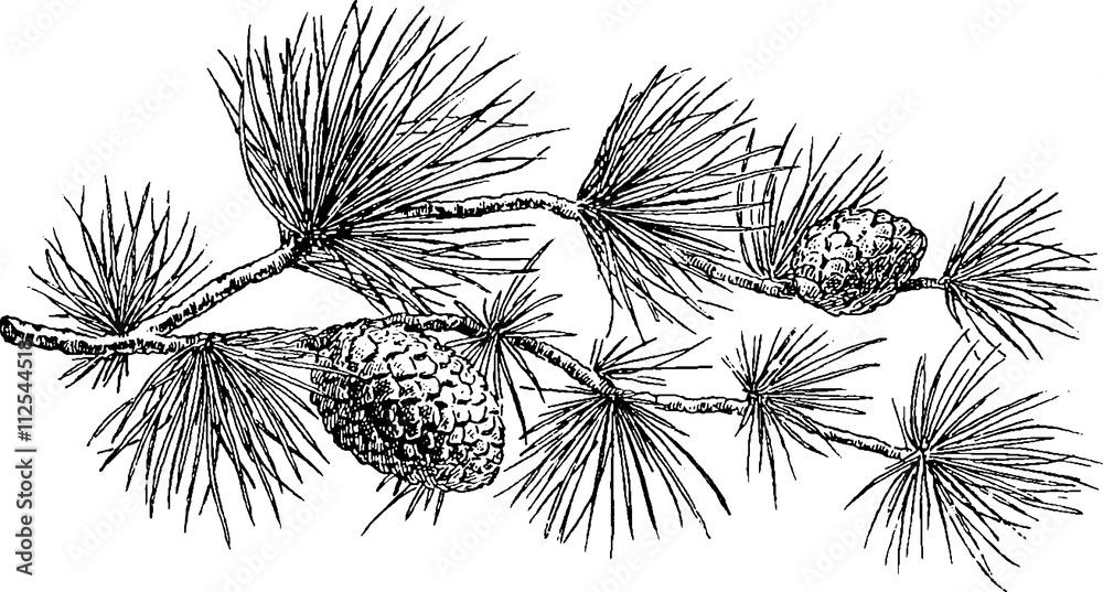Fototapety, obrazy: Vintage image pine cone