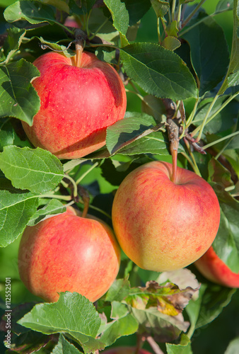 Apple garden - Buy this stock photo and explore similar images at ...