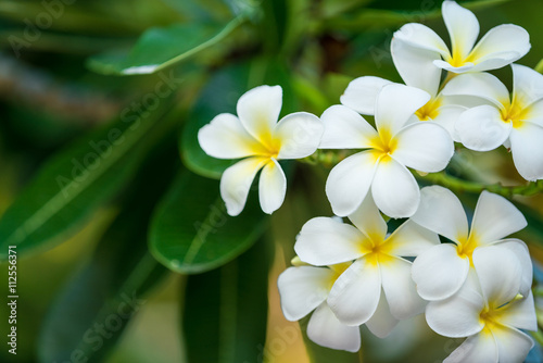 The white frangipani with leaves. White plumeria.Plumeria flowers - White plumeria on the plumeria tree.