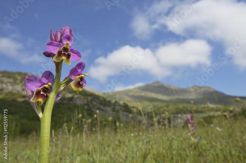 Fotografie, Obraz  Ophrys tenthredinifera.en primavera