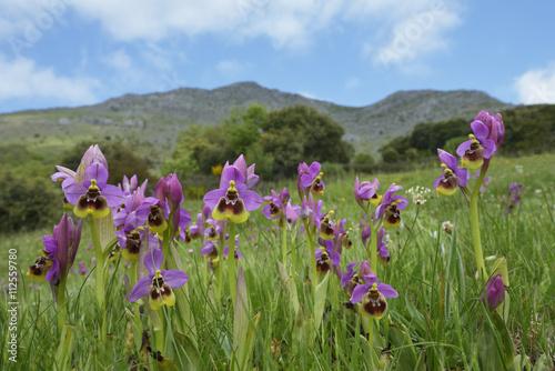 Obraz na plátně  Ophrys tenthredinifera. Primavera