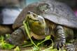 Turtle eating morning glory
