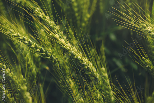 Fototapeta Green triticale ears, hybrid of wheat and rye in field obraz