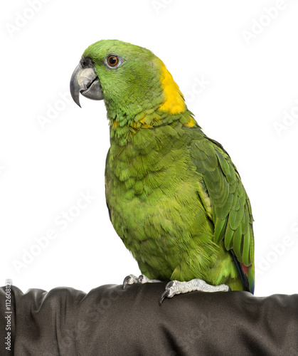 Garden Poster Parrot Yellow-crowned Amazon isolated on white
