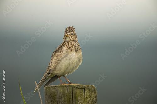 Valokuva  Skylark, Alauda arvensis, perched on a post, close up