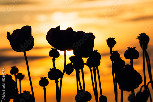 Poster Floral black and white Poppies at sunset