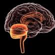 canvas print picture - Human brain 3d illustration