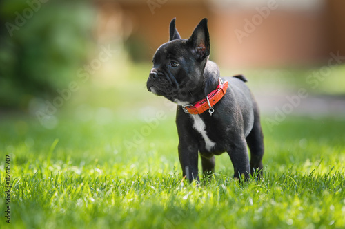 Stickers pour portes Bouledogue français French bulldog puppy
