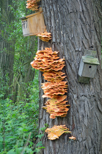 Fényképezés  Laetiporus Sulphureus Chicken of the Woods Fungus on tree trunk with bird boxes