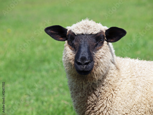 Canvas Print Portrait of young suffolk sheep on natural green background