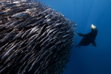 Shoal Of Fish With Seal