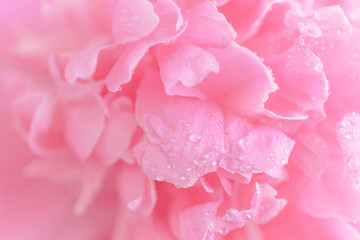 Panel Szklany Peonie Tender wet pink peony flower macro background