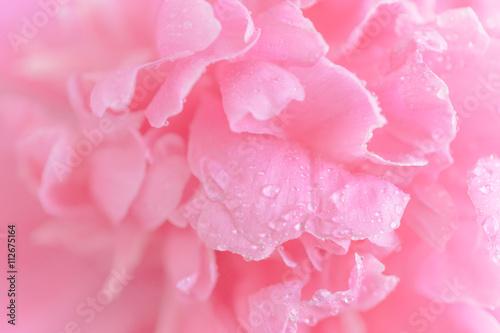 Tender wet pink peony flower macro background - 112675164