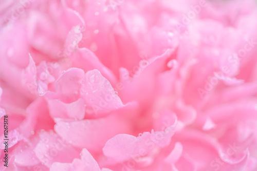 Fototapeta Tender wet pink peony flower macro background obraz na płótnie