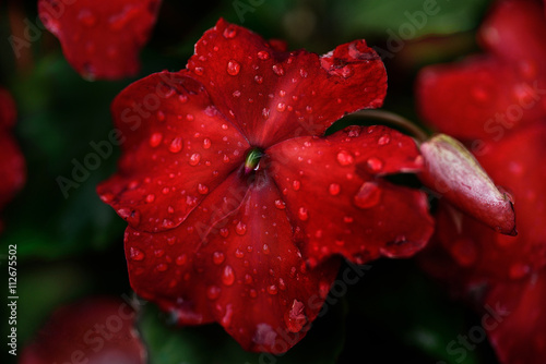 Red flower impatiens with dew drops Poster