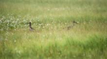 Scottish Birds In A Meadow Sur...