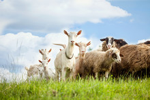 Flock Of Sheep And Goat On Pas...