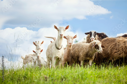 Tuinposter Schapen Flock of sheep and goat on pasture in nature