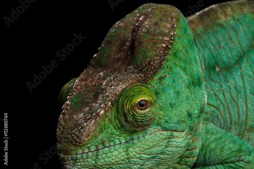 Closeup Head of Green Parson Chameleon, Calumma Parsoni Orange Eye Rest on Mirror Isolated on Black Background