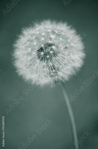 Fotografie, Tablou  Abstract dandelion