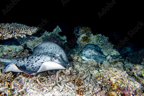 Fototapety, obrazy: giant blackparsnip stingray fish during night dive