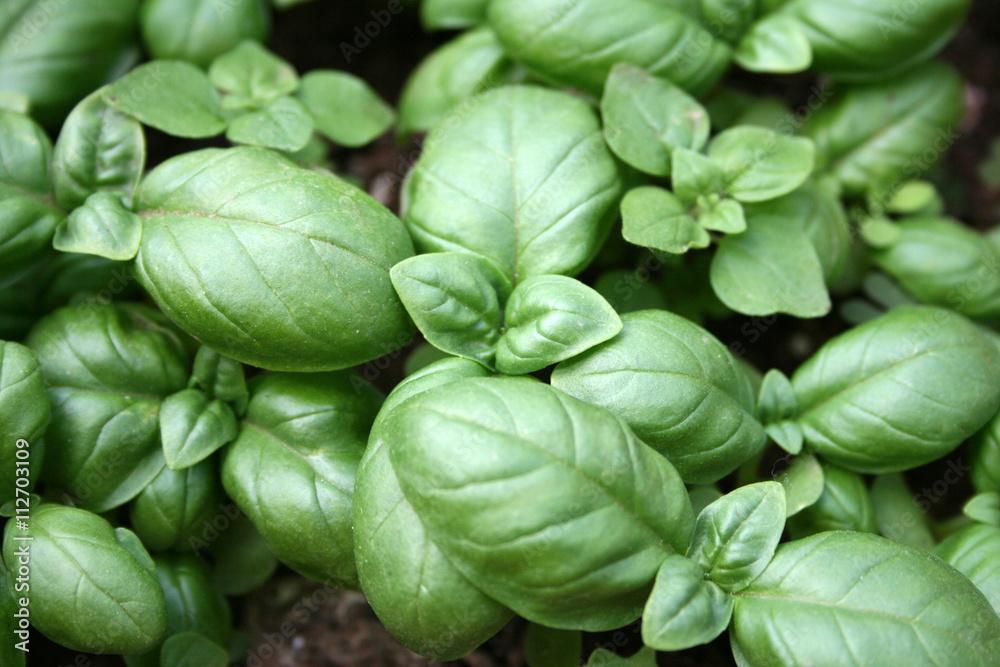 Fototapety, obrazy: Basilico plant in a garden