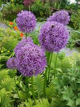 Zierlauch, Riesenlauch, Allium...