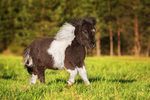 Painted Shetland Pony Running On The Field In Summer