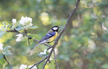 Bird Chickadee Sings A Song Sitting On A Blossoming Branch In The Spring